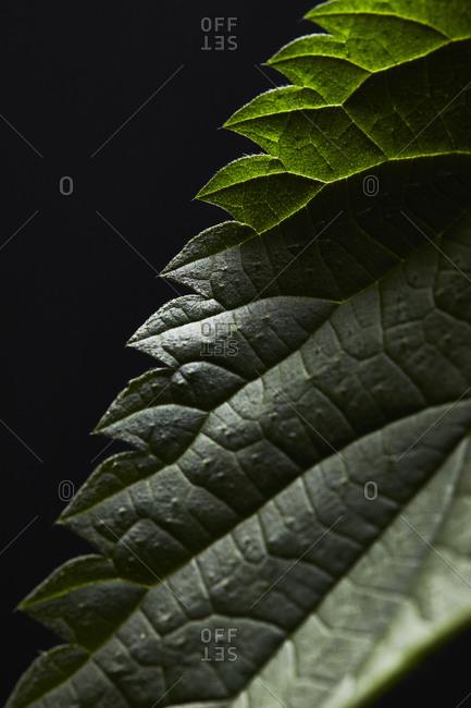 Nettle, urtica, leaf, close up