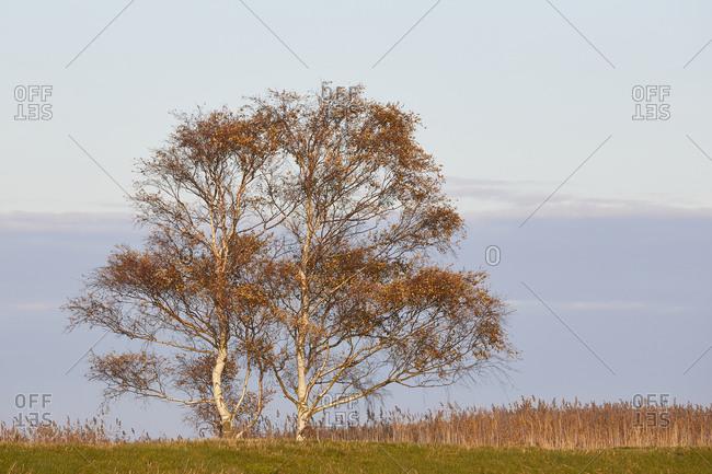 Birch, autumn, tree, Mecklenburg-West Pomerania