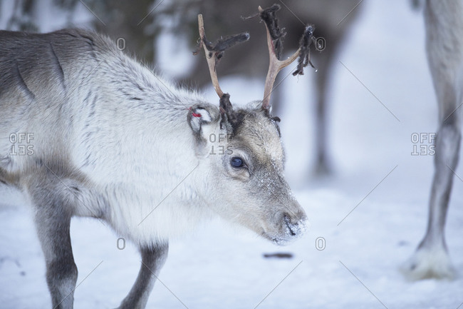 Finland, Lapland, reindeer in winter