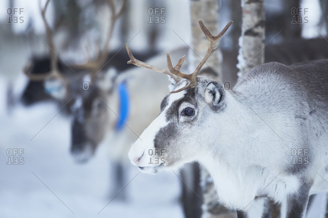 Finland, Lapland, reindeer in winter close up