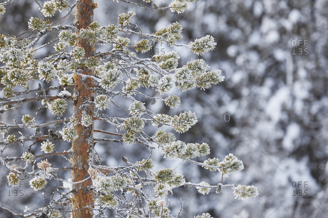 Finland, Lapland, frozen winter tree close up