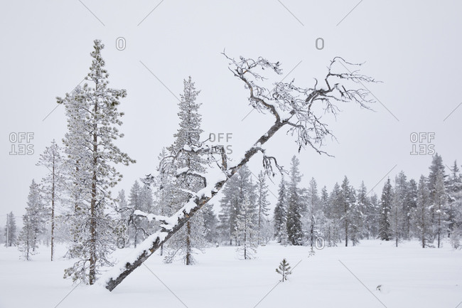 Finland, Lapland, winter, trees, bog