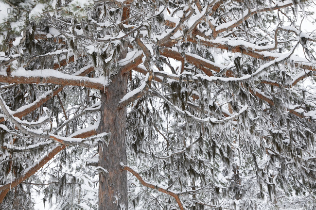 Finland, Lapland, snow covered tree in winter
