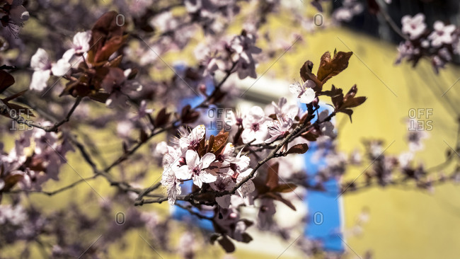 Almond tree blossoms in Conilhac-Corbieres