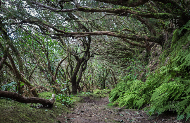 Spain, Canary Islands, Tenerife, Taganana, cloud forest