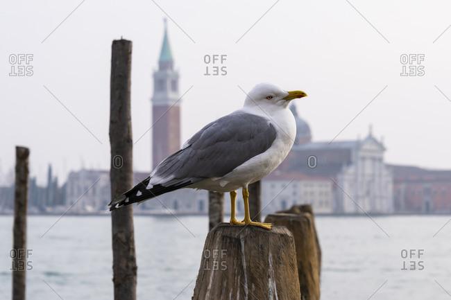 Seagull, San Giorgio Maggiore church, Venice, historical center, island, Veneto, Italy, northern Italy, Europe