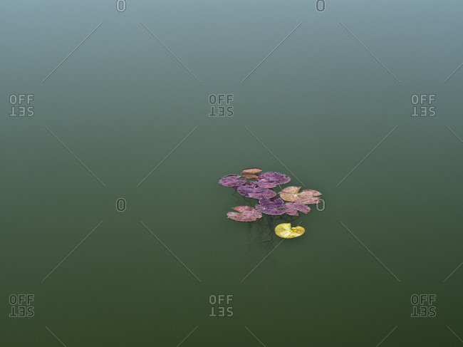 Europe, Germany, Hesse, Marburger Land, autumn colored water lily leaves on a turquoise water surface