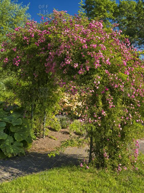 May 29, 2019: Europe, Germany, Hesse, Marburg, Botanical Garden of the Philipps University, Rosenbogen