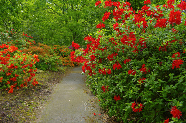 May 20, 2009: Europe, Germany, Hesse, Marburg, botanical garden of the Philipps University, blooming rhododendrons in the rhododendron forest