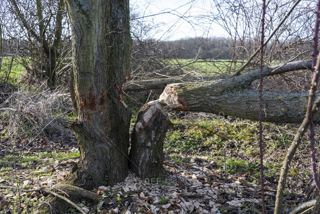 Tree trunk gnawed by a beaver