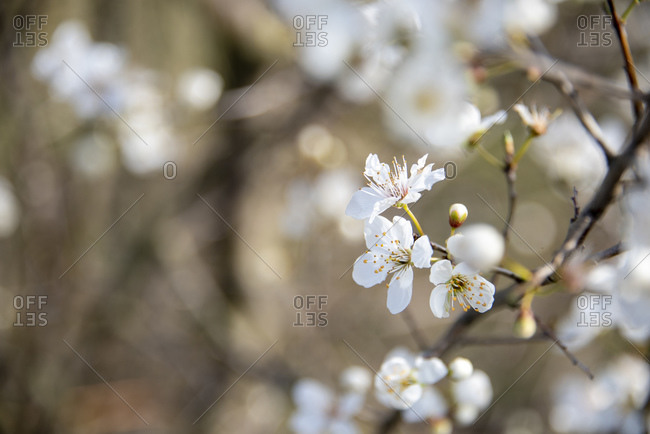 Flowering wild cherry, bird cherry, Prunus avium