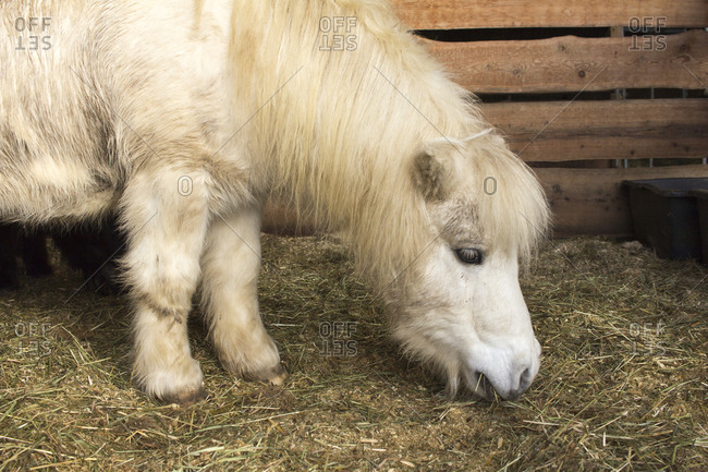 Pony eating hay in stall