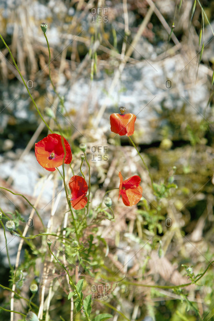 Flowers, poppies in Tuscany, Italy
