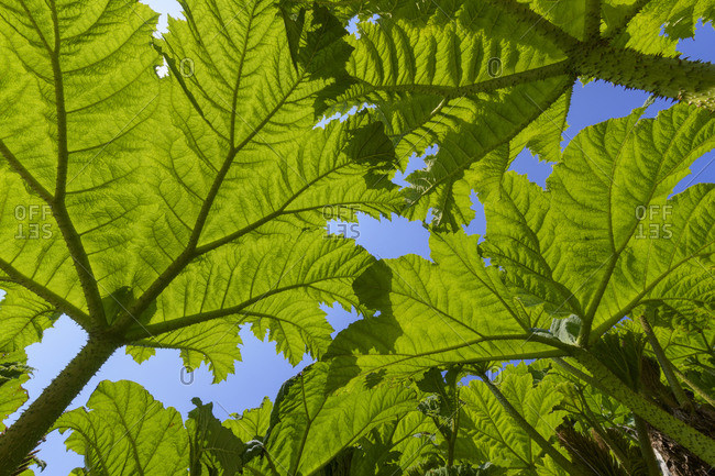 Leaves of Giant Rhubarb, Gunnera manicata, Cornwall, South West England, England, United Kingdom, Europe