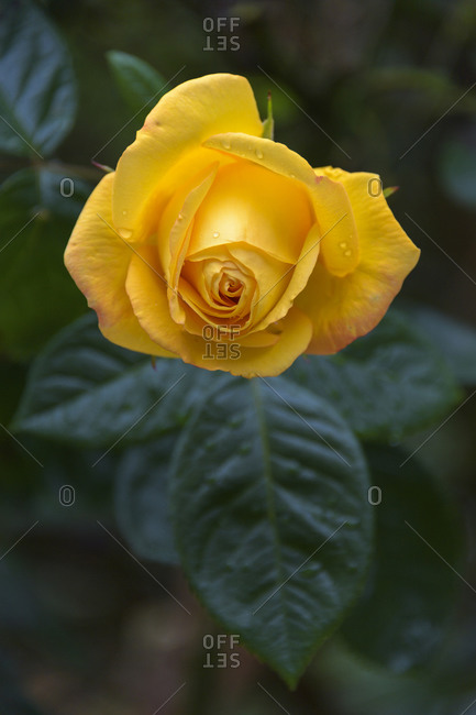 Yellow rose with dew close up