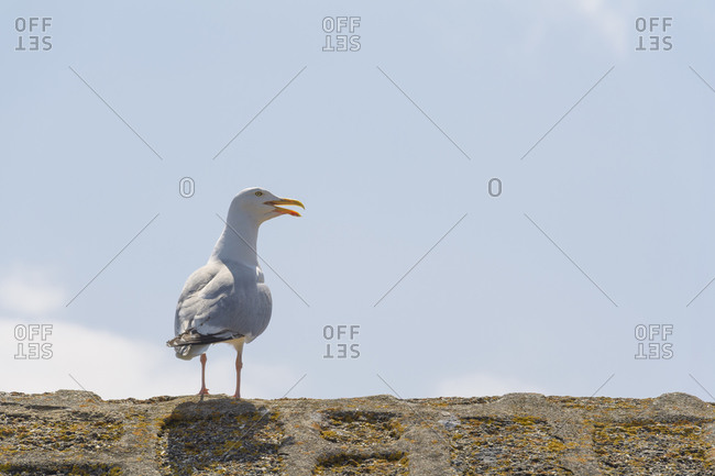 Seagull, Mousehole, Penzance, Cornwall, South West England, England, United Kingdom, Europe