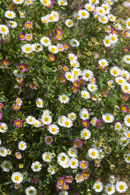 Daisy, Mousehole, Penzance, Cornwall, South West England, England, United Kingdom, Europe