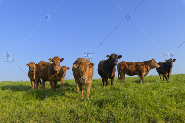 Herd of cattle on pasture, The Rumps, Pentireglaze, Wadebridge, Cornwall, South West England, England, United Kingdom, Europe