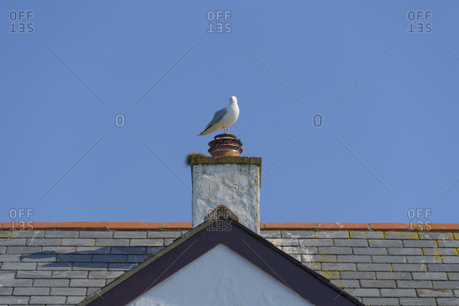 Seagull on chimney, Tintagel, Cornwall, South West England, England, United Kingdom, Europe