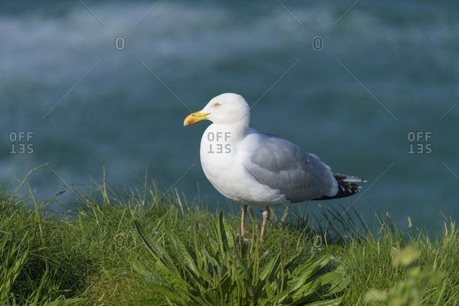 Herring Gull, Larus argentatus, by water