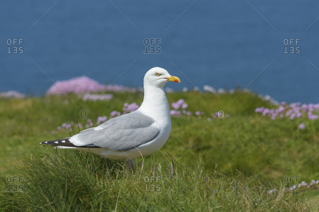 Herring Gull, Larus argentatus, Trevose Head Lighthouse, Padstow, Cornwall, South West England, England, United Kingdom, Europe