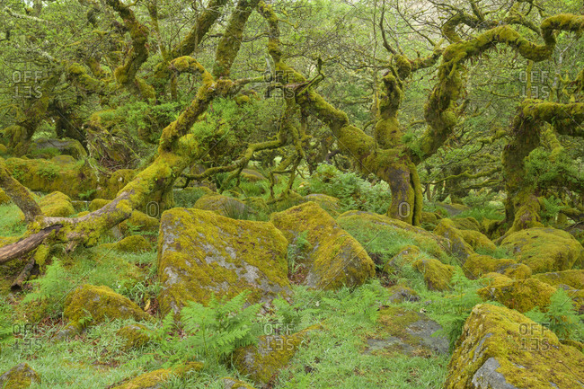 Spooky old oak forest with mossy rocks, Wistman's Wood, Dartmoor, Two Bridges, Princetown, Devon, South West England, England, United Kingdom, Europe