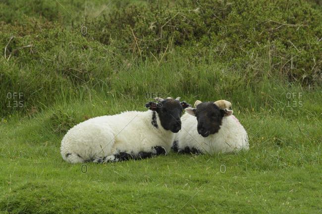 Two sheep lying down on meadow, Dartmoor, Devon, England, United Kingdom, Europe