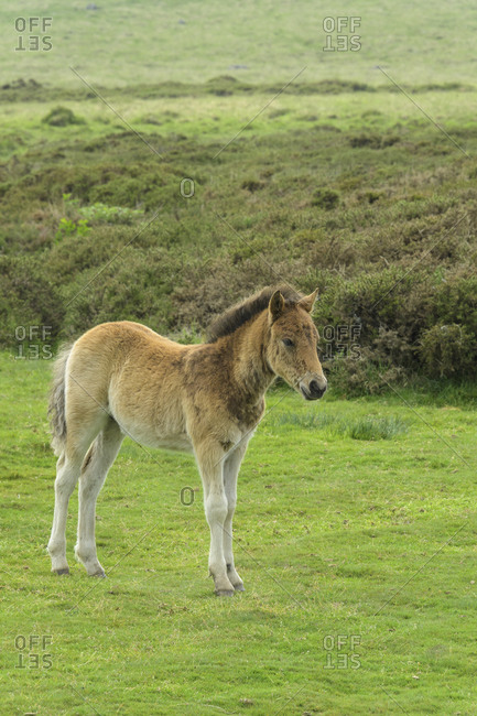 Dartmoor-Pony wild horses foal on meadow, Dartmoor, Devon, South West England, England, United Kingdom, Europe