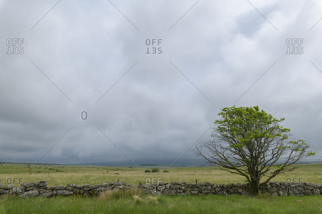 Landscape with tree, Dartmoor, Devon, South West England, England, United Kingdom, Europe