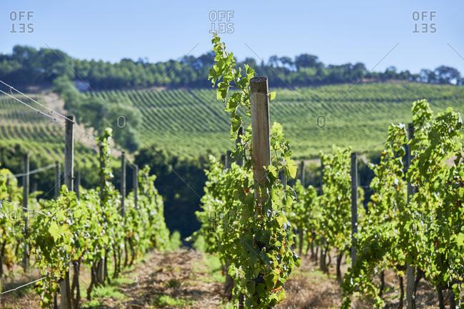 Green vines in a vineyard in Lisbon region, Portugal