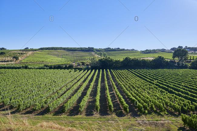 Vast green rows in a vineyard in Lisbon region, Portugal