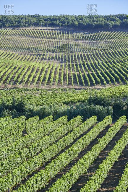 Vast green rows in a vineyard in Lisbon, Portugal