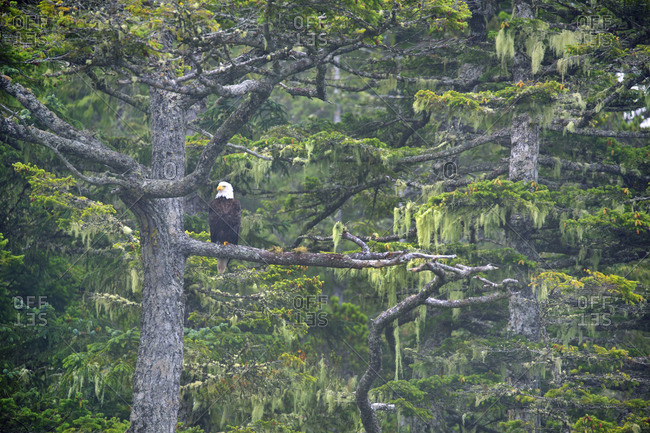 Bald eagle in tree resting looking out to sea at Telegraph Cove, BC, Canada