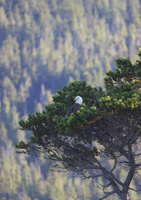 Bald eagle in tree looking out to sea at Telegraph Cove, BC, Canada