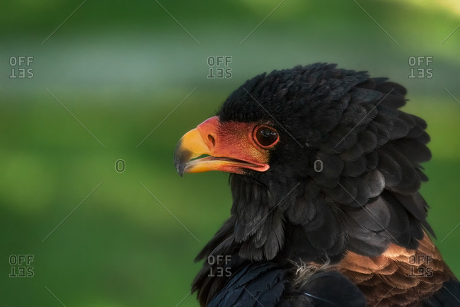 Closeup of head of wild bird Bateleur or Terathopius ecaudatus with black plumage and red facial skin against blurred green nature background