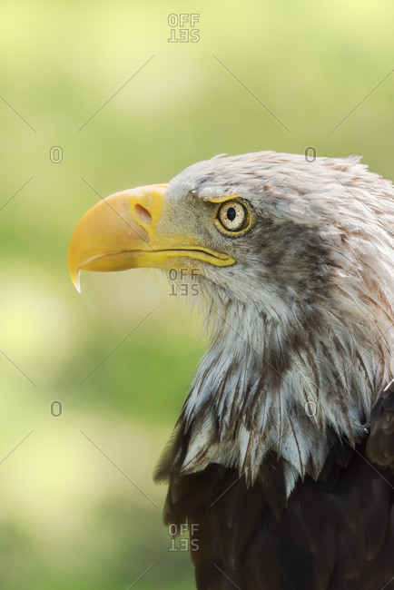 Closeup of head of bald eagle or Haliaeetus leucocephalus bird native to North America on blurred green environment background