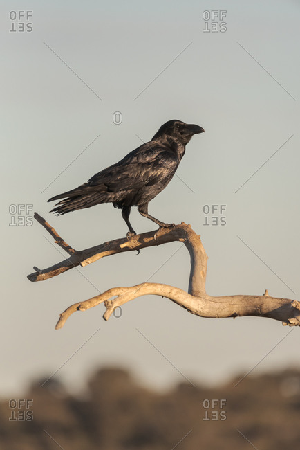 Common raven or Corvus corax wild bird sitting on dry branch of tree against gray sky in nature