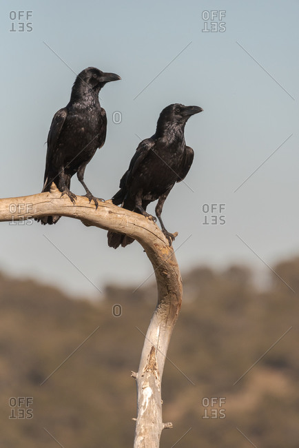 Common ravens or Corvus corax wild bird sitting on dry branch of tree against gray sky in nature
