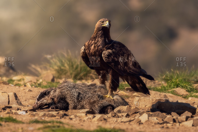 Red-tailed hawk or Buteo jamaicensis raptor bird standing over dead wild animal against blurred background in nature