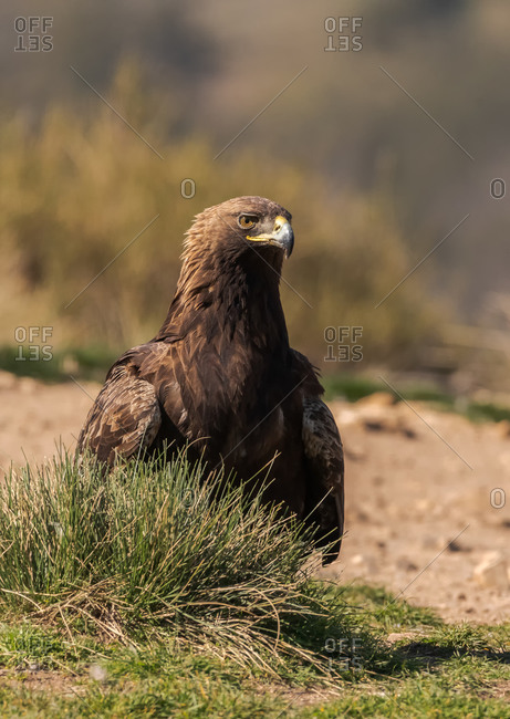Red-tailed hawk or Buteo jamaicensis raptor bird standing in blurred background in nature