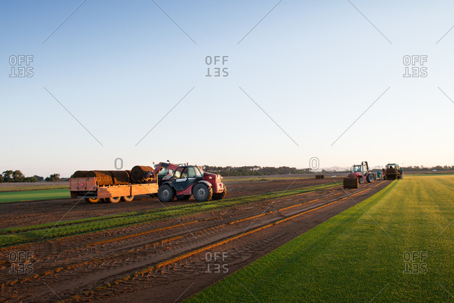 Group of people driving industrial vehicle and laying turf roll on ground during sunset