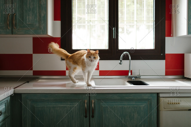 Cute rescued cat over a countertop of a kitchen