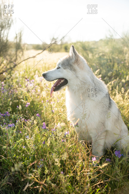 Side view of Alaskan Malamute with white fur sitting on blooming meadow in countryside