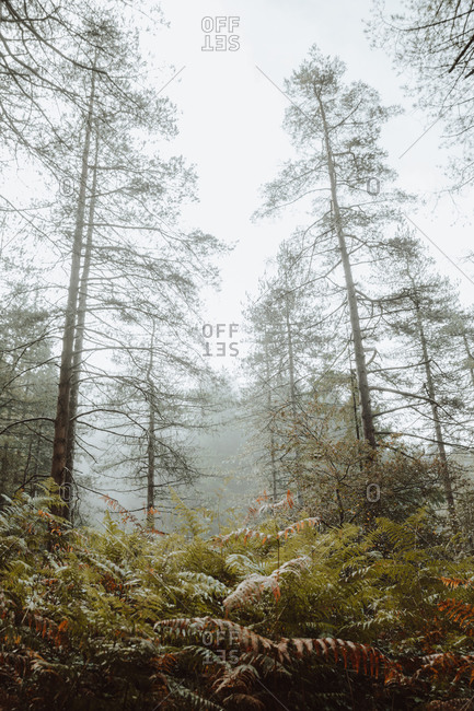 Tranquil landscape of tall trees and green fern in misty morning in woods of Biscay