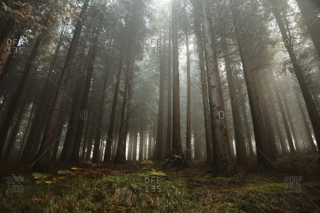 Tranquil landscape of tall trees and green plants in misty morning in woods of Biscay