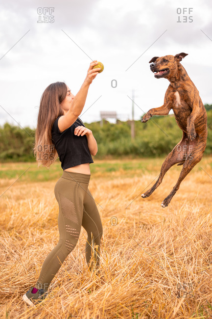 Side view of fit anonymous lady in sportswear holding small ball while playing with Thai Ridgeback jumping above golden grass in field in daylight