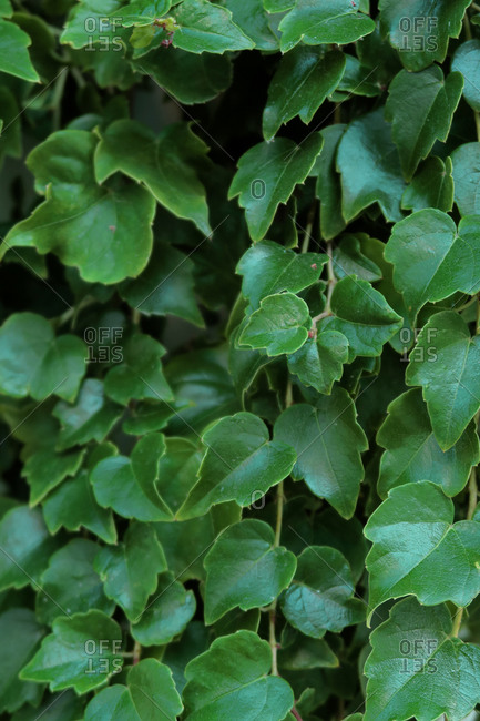 Foliage of leaf in dark green on texture. Abstract pattern nature background