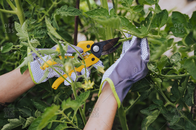 Close-up of woman hands cutting leaf vegetables in garden