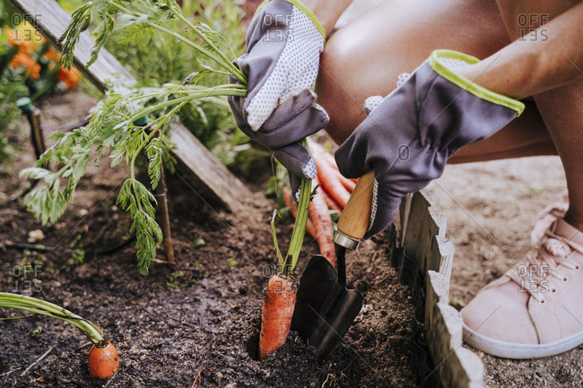 Close-up of mid adult woman collecting carrot from raised bed in vegetable community garden