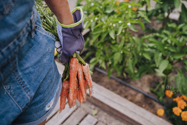 Close-up of mid adult woman holding carrots standing in community garden